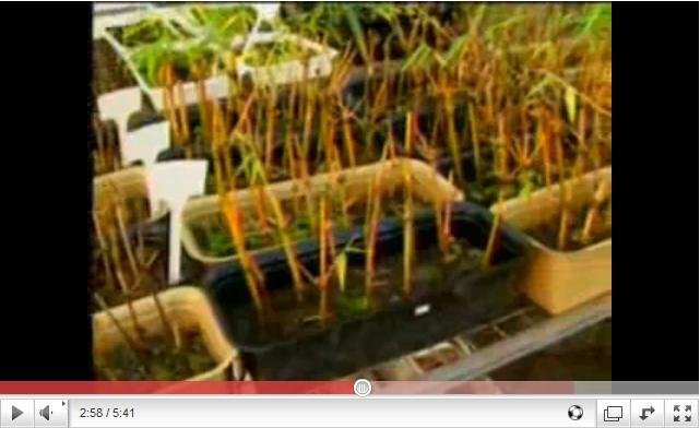 Record Rural - Bambu é usado em pesquisa por universidade da Capital